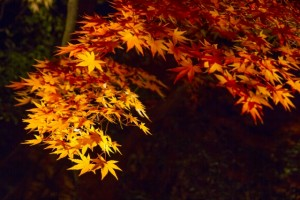 紅葉のライトアップ京都嵯峨野トロッコ列車はいつ?乗車券の予約は?