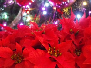 ポインセチアが赤いのは?なぜクリスマスに使われるの?赤くするには?
