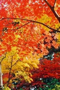 紅葉はなぜ色が変わるの?きれいに色づく条件は?きれいな場所とは?