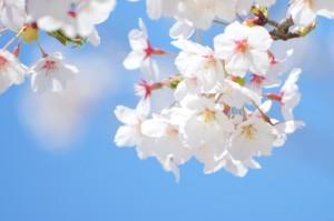 桜の種類と開花時期は?早咲きの名所は?遅咲きは?