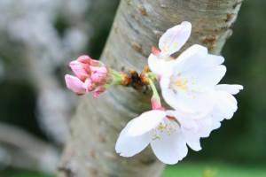 桜の開花宣言とは?その条件は?満開になるまでの期間は?